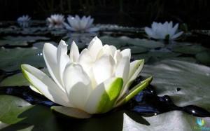 belii-lotos (1)